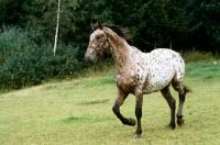 Picture of knabstrup mare, lisa-lotte lyshøy trotting