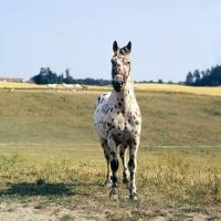 Picture of knabstrup stallion, kronplet, front view