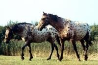 Picture of knabstrups walking in a field in denmark