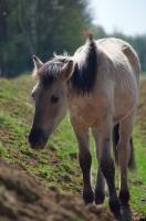 Picture of Konik horse in field