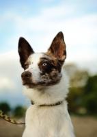 Picture of Koolie dog portrait (aka German Koolie, Coolie, Australian Koolie