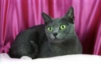 Picture of korat cat, looking away