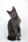 Picture of korat cat sitting down