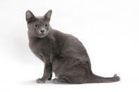 Picture of Korat cat, sitting