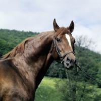 Picture of kornett, trakehner stallion at marbach stud