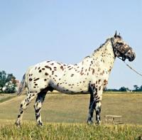 Picture of kronplet, knabstrup stallion in denmark