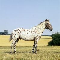 Picture of kronplet, knabstrup stallion