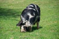 Picture of Kunekune pig