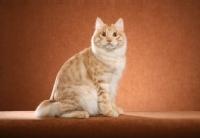 Picture of Kurilian Bobtail sitting down