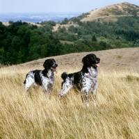 Picture of l, rheewall merrydane magpie (maggie) r, mitze of houndbrae, two large munsterlanders  on malvern hills