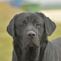 Picture of Labrador Retriever head shot looking towards camera
