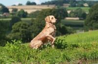 Picture of Labrador retriever in green landscape