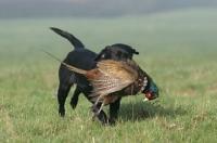 Picture of Labrador Retriever retrieving pheasant