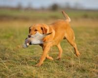 Picture of Labrador Retriever retrieving bird