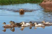 Picture of Labrador retriever swimming towards ducks