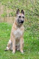 Picture of Laekenois (Belgian Shepherd) sitting down