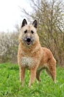 Picture of Laekenois (Belgian Shepherd) standing on grass