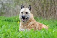 Picture of Laekenois (Belgian Shepherd)