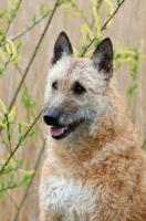 Picture of Lakenois (Belgian Shepherd) portrait