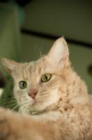 Picture of LaPerm cat indoors