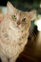 Picture of LaPerm cat