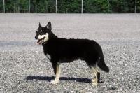 Picture of Lapponian Herder (aka Lapinporokoira, Lapland Reindeer dog, Reindeer Herder)