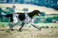 Picture of large munsterlander, mitze of houndbrae on the move on hillside