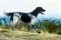 Picture of large munsterlander, mitze of houndbrae, galloping on hillside