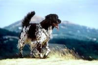 Picture of large munsterlander walking on malvern hills