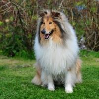 Picture of lassie