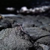 Picture of lava lizard on fernandina island, galapagos islands