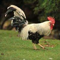 Picture of leghorn chicken