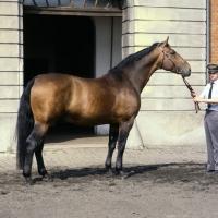 Picture of Lehnsherr side view of Hanoverian stallion during annual stallion assessment at Celle
