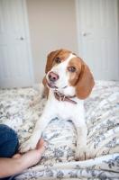 "Picture of lemon beagle doing ""shake"" trick"