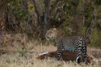 Picture of Leopard standing over new kill in Masai Mara