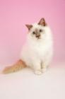 Picture of lilac point birman kitten