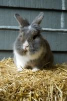 Picture of Lionhead rabbit