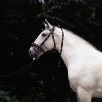 Picture of lipizzaner stallion at Szilvasvarad