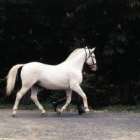 Picture of Lipizzaner stallion, Pluto XXV11 trotting past with handler at szilvasvarad