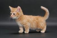 Picture of little male Red Mackerel Tabby Munchkin kitten