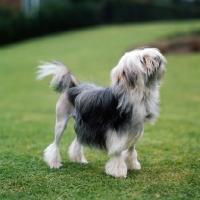 Picture of littlecourt akela, lowchen standing on short grass