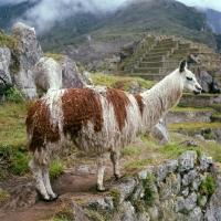 Picture of llama at machu picchu, peru