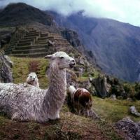 Picture of llamas near machu picchu, peru