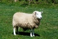Picture of lleyn ewe