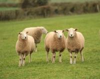 Picture of Lleyn sheep in field