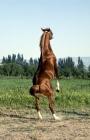 Picture of lokai stallion, part arab, rearing