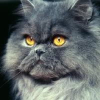 Picture of long hair blue cat portrait