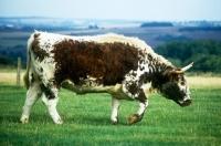 Picture of longhorn cow walking across a field