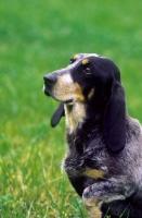 Picture of Luzerner Niederlaufhund (aka Small Lucerne Hound, Small Swiss Hound)
