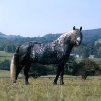 Picture of Macnamara, Connemara stallion when young